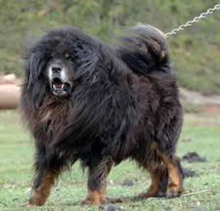 Image Gallery siberian mastiff